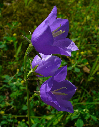 Foto: Pfirsichblättrige Glockeblume