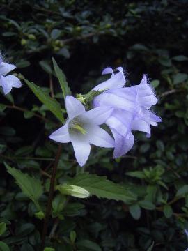 Foto: Nesselblättrige Glockenblume