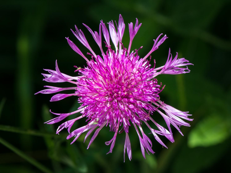 Foto: Wiesen-Flockenblume