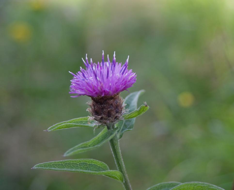 Foto: Schwarze Flockenblume)