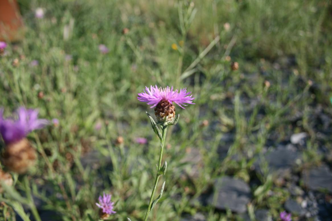 Foto: Schmalblättrige Flockenblume