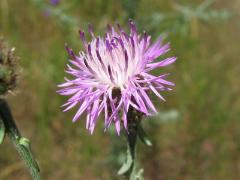Foto: Rispen-Flockenblume