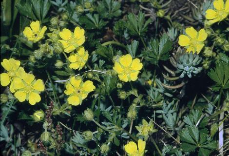 Foto: Frühlings-Fingerkraut