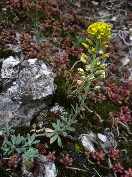 Foto: Berg-Steinkraut